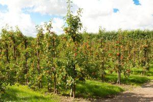 Teeltondersteuning bij ziekten en plagen in de fruitteelt | Van Iperen